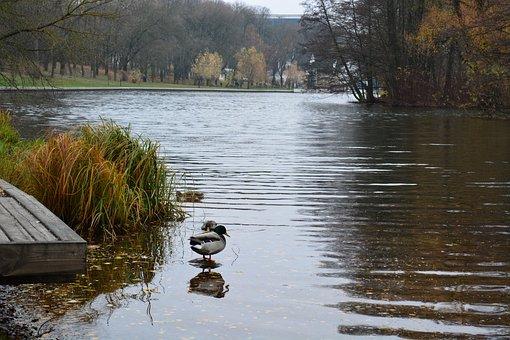Autumn, Svisloch, Duck, Nature