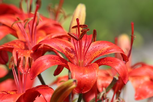 Lily, Red Lily, Flowers, Beautiful, Bloom, Nature