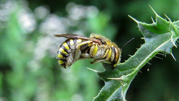 Bee, Nature, Macro, Wild Bee, Yellow, Black, Insect