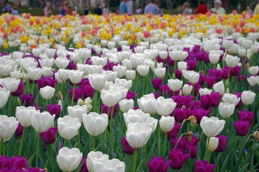 Tulips Galore, Tulips, Dallas, Texas, Botanical