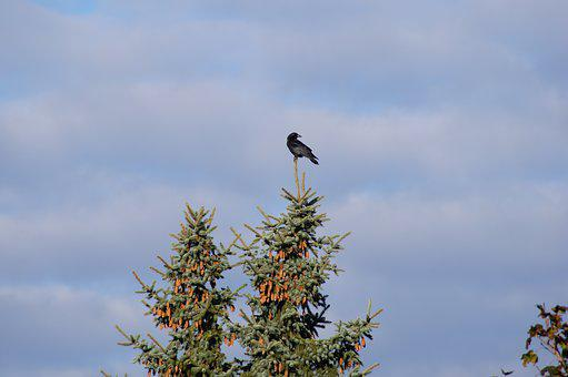 Bird, Pine Tree, Nature, Tree, Pine, Forest, Branch