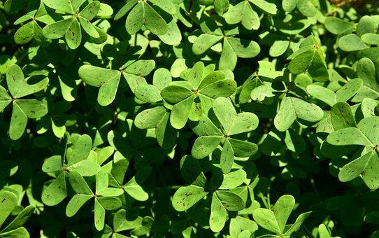 Klee, Sorrel, Green, Nature, Leaf, Common Sorrel Plant