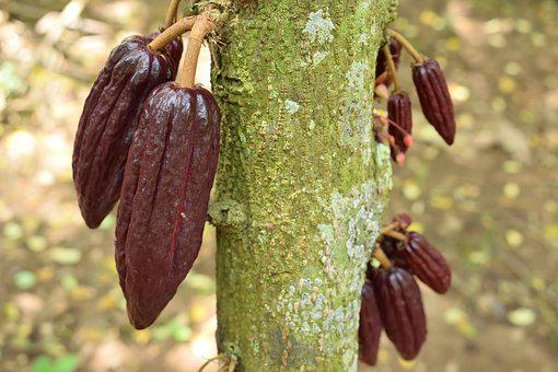 Cocoa, Colombia, Nature, Fruit, Cultivation