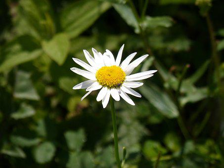 Daisy, Pyrenees, Flower, Petals, Detail