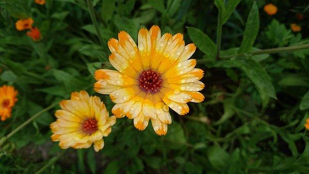 Calendula, Marigold, Flowers, Bloom, Orange, Drops