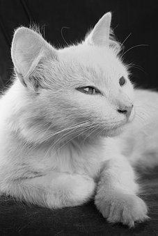 Cat, Animal, Pet, Fur, Kitten, Eyes