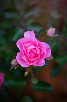 Pink, Rose, Autumn Rose, Fall Flowers, Nature, Romantic