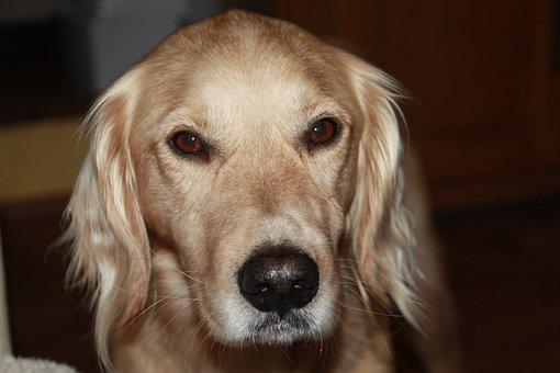 Dog, Devotee, Friendly, Expression, Portrait