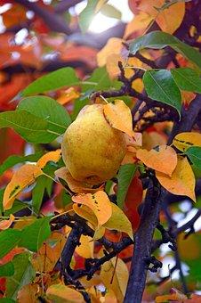 Fruit, Pear, Yellow Pear, Pear Tree, Fresh, Vitamins