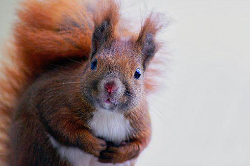 Squirrel, Fur, Cute, Forest, Mammal, Nature, Animal