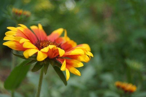 Flower, Gaillardia, Bloom, Colorful, Nature, Garden
