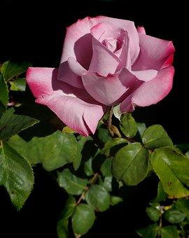 Flower, Rose, Perfume, Mauve, Bloom, Garden, Nature