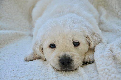 Puppy, Pup, Puppy Lying Down, Golden Retriever Puppy