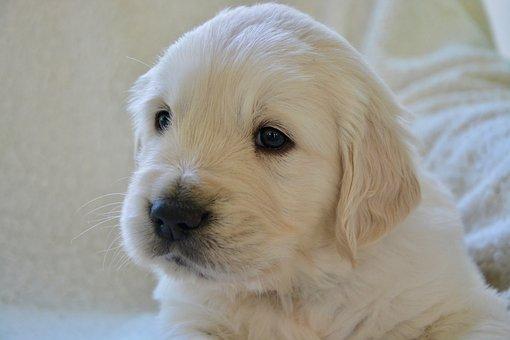 Puppy, Pup, Golden Retriever Puppy, Dog Breed Golden