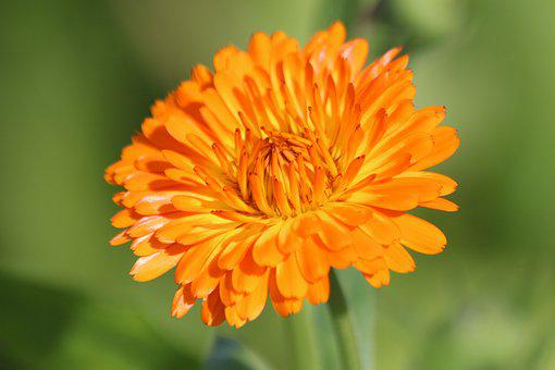 Calendula, Marigold, Flower, Summer, Green Background