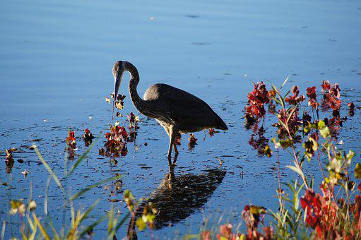 Bird, Grey Heron, Heron, Standing, Feather, Outdoors