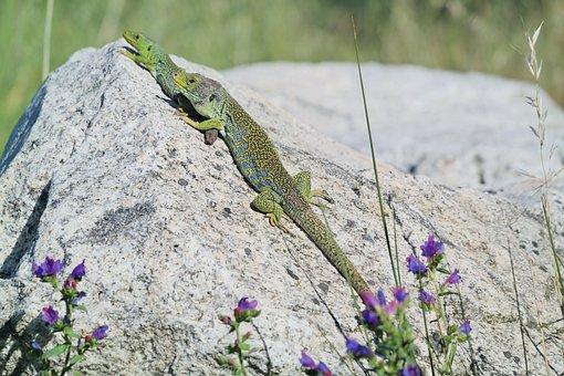 Lizards, Lizard, Sun, Reptile