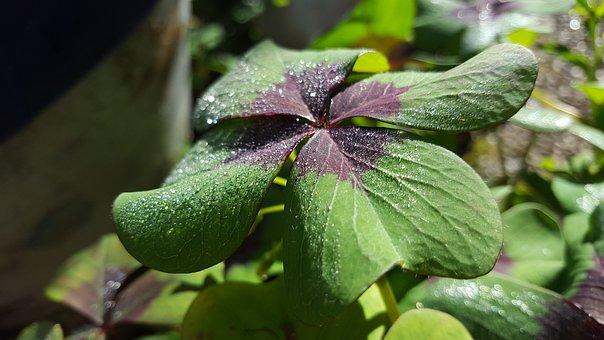 Luck, Four Leaf Clover, Garden, Plant, Dew, Leaf