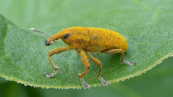 Weevils, Yellow, Insect, Summer, Macro, Nature