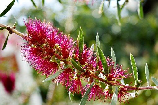 Blossom, Plant, Magenta Blossom, Magenta Flower