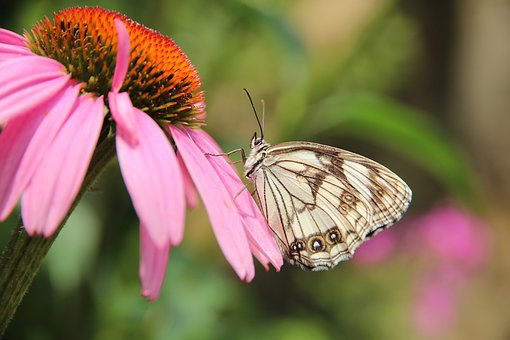 Butterfly, Echinacea, Medicinal Plant, Insect, Nature