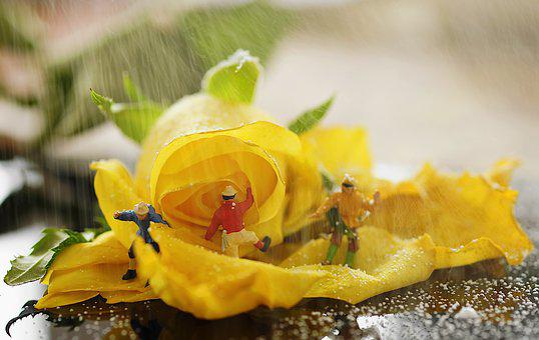 Miniatures, Roses, Mini, Yellow, Mountaineer, Snowfall