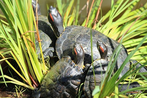 Turtle, The Red-eared Terrapins, Nature, Animals, Shell
