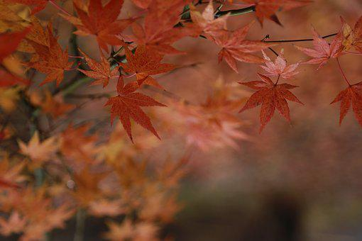 Autumn Leaves, Maple Leaf, The Leaves, Autumn, Nature