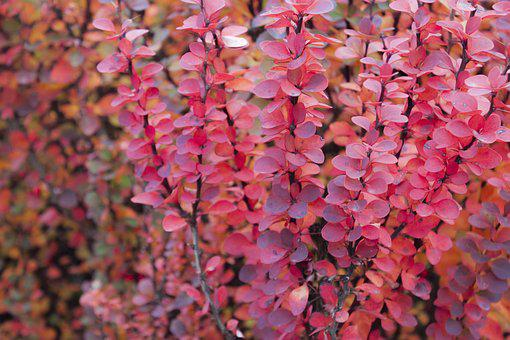 Flowers, Bush, Shrub, Pink, Flower, Bloom, Nature