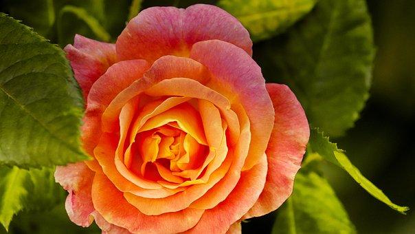 Rose, Orange, Bright, Noble, Greeting Card, Flowers