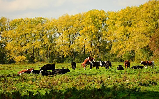 Cattle, Bull, Cow, Animal, Herd, Field, Pasture, Tree
