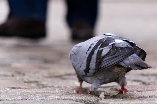 Dove, Bird, Peck, Eat, Pedestrian Zone, Feet