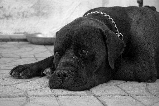 Dog, Black, Pet, Animal, Portrait, Face, Cute, Fur