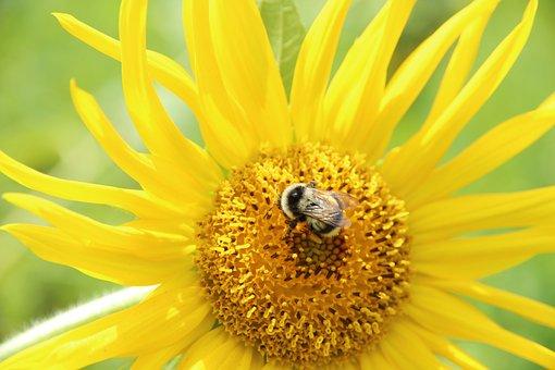 Sunflower, Plant, Flower, Summer, Yellow, Bumblebee