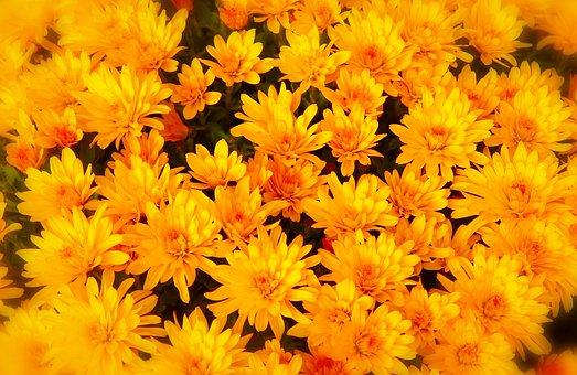 Chrysanthemum Yellow, Plant, Flower, Autumn