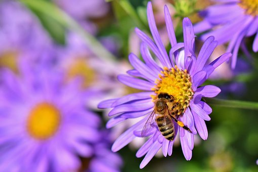 Bee, Honey Bee, Nectar, Pollen, Blossom, Bloom, Insect