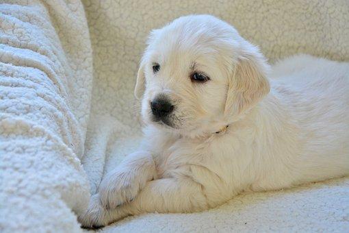 Puppy, Pup, Puppies, Golden Retriever Puppy