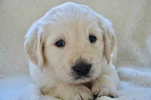 Puppy, Pup, Puppies, Golden Retriever Puppy, Dog Breed