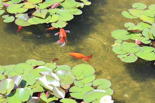 Fish, Goldfish, Red, Orange, Animals, Pond