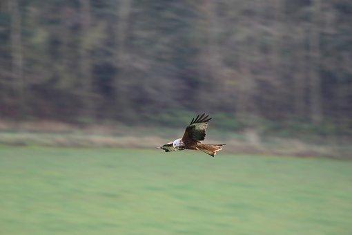 Red Kite, Buckinghamshire, Flying, Bird