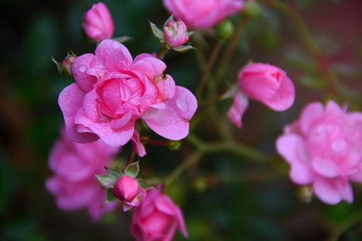Rose, Pink Roses, Pink, Flower, Love, Nature, Romantic