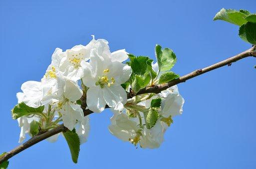 Cherry, Blossom, Bloom, Spring, Sky, Branch