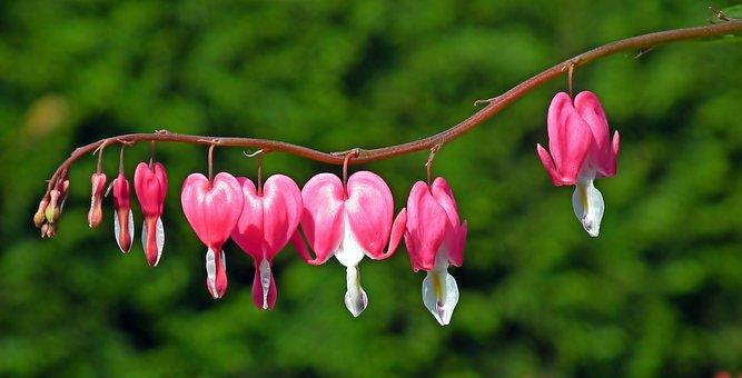 Flowers, Hearts, Pink, Nature, Garden, Spring, Closeup