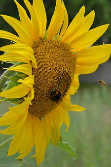 Sunflower, Insect, Nature