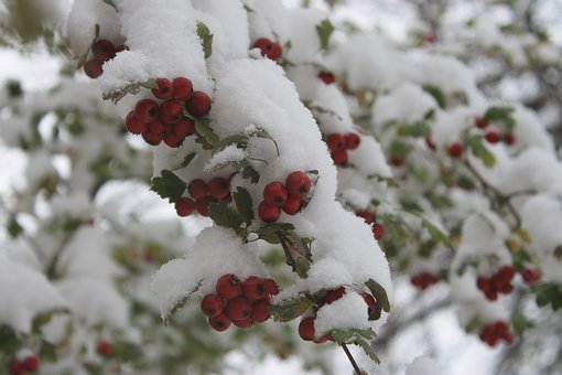 The First Snow, Freezing, Berry, Hawthorn, Plant, Tree