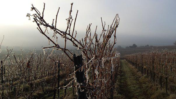 Vineyard, Winter, Cold, Winegrowing, Vines, Vine