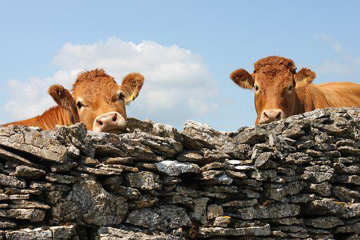 England, Cows, Wall, Cattle, Agriculture