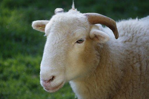 Sheep, Farm, Mammal, Livestock, Wool, Agriculture