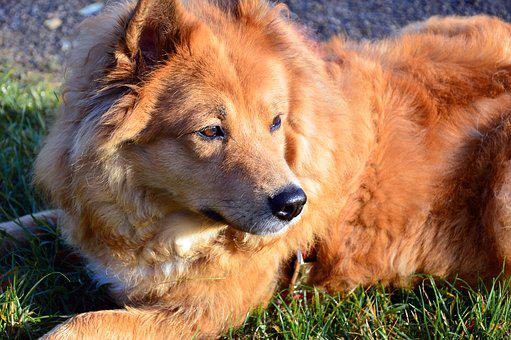 Dog, Elo, Purebred Dog, Animal, Dog Breed, Pet
