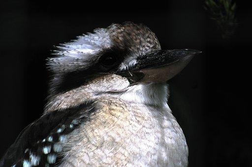 Kookaburra, Bird, Australian, Wild, Animal, Australia